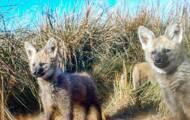 Imágenes raras de una loba de melena con sus cachorros capturadas en Argentina