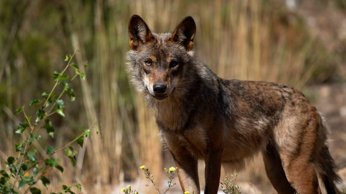La chasse au loup désormais interdite dans toute l'Espagne
