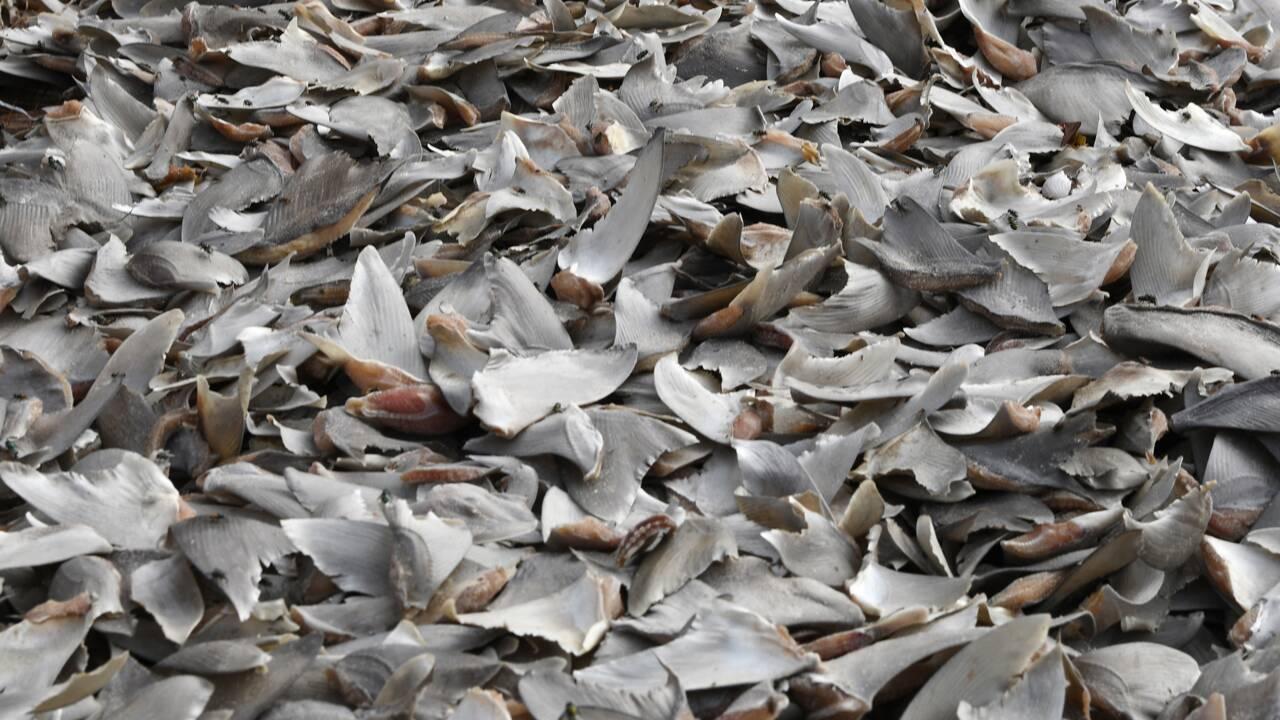 Plus de 3.000 ailerons de requins saisis en Colombie