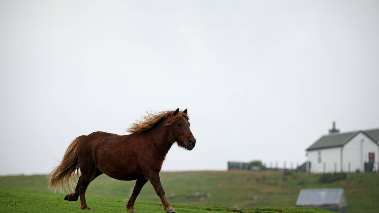Comment la pandémie a relancé l'intérêt pour les poneys Shetland