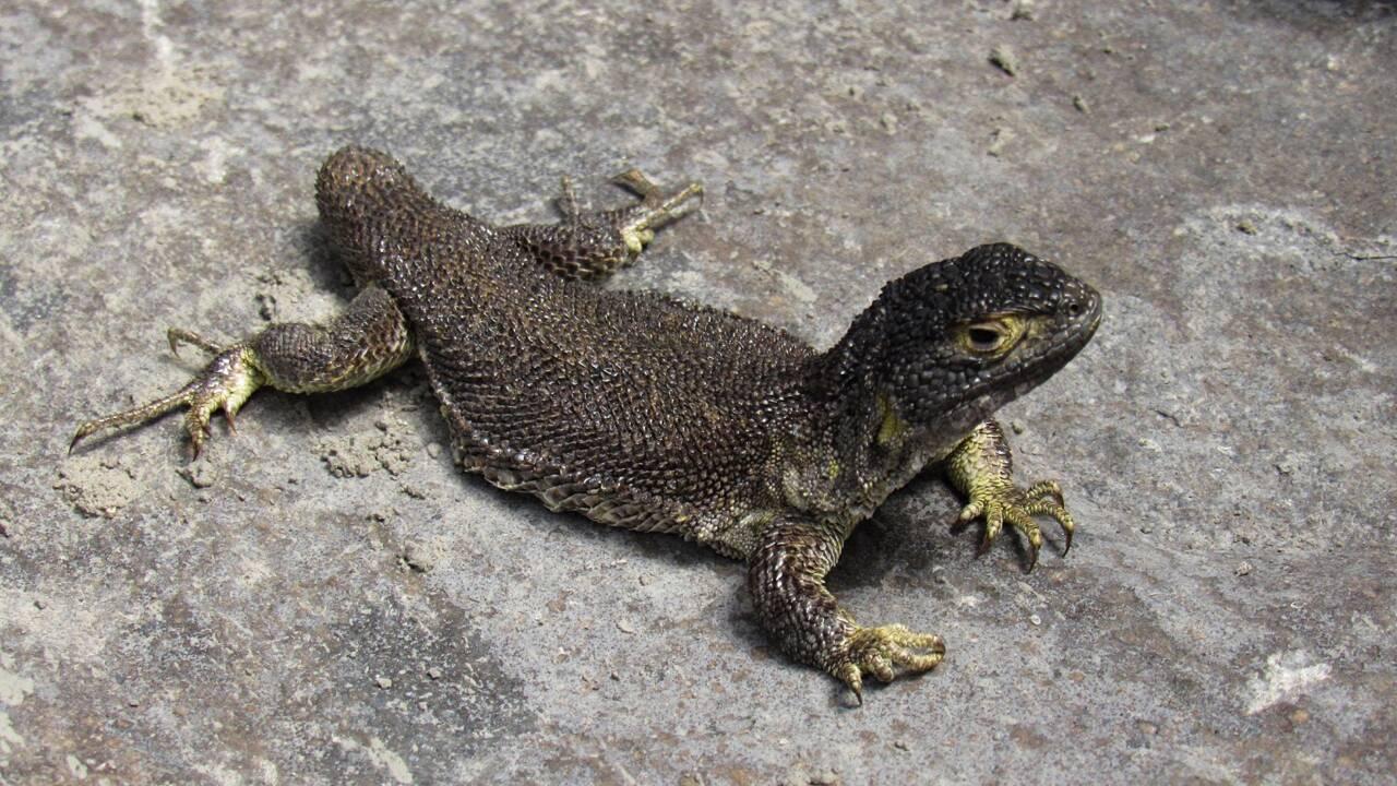 Une nouvelle espèce de lézard découverte dans le sud du Pérou