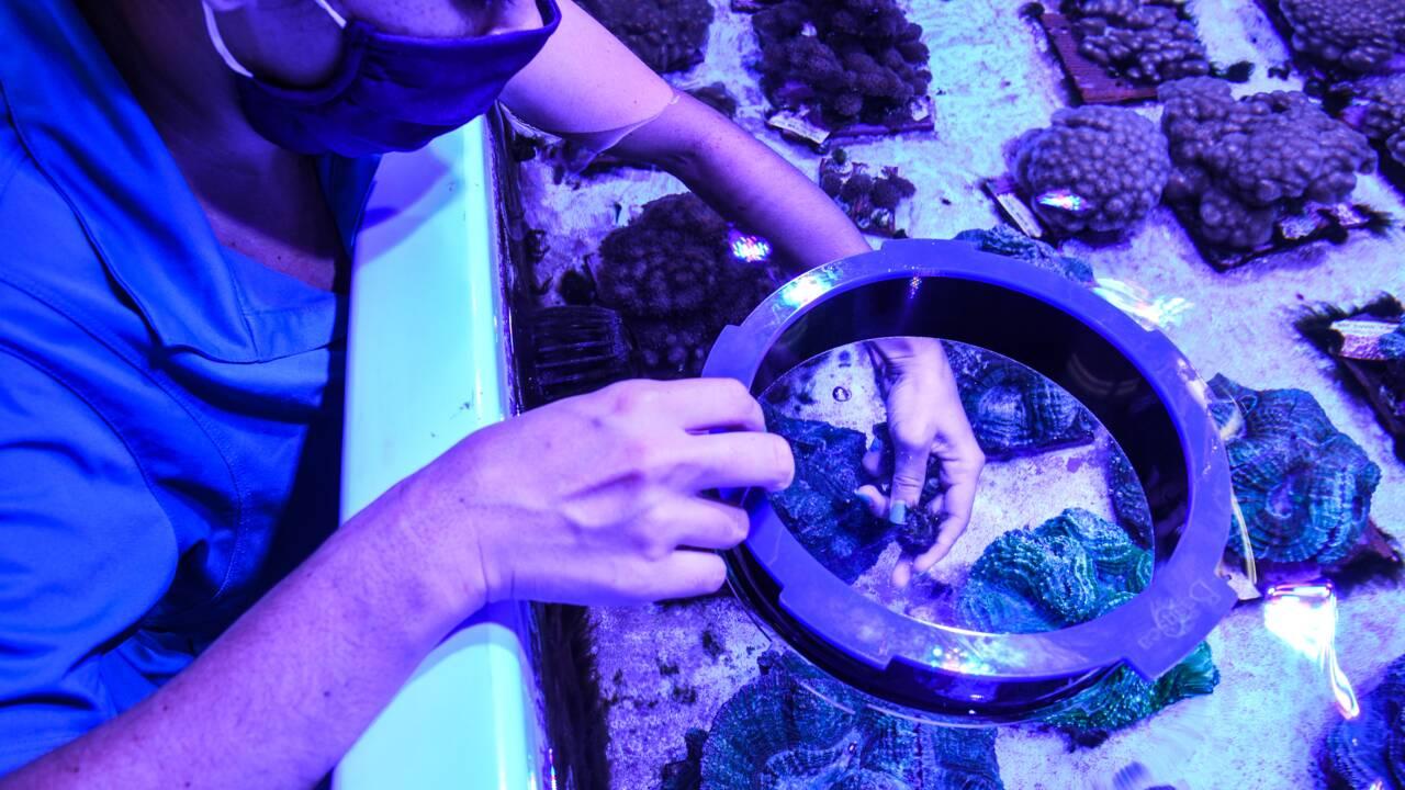 En Floride, un laboratoire tente de sauver les coraux d'une mystérieuse maladie