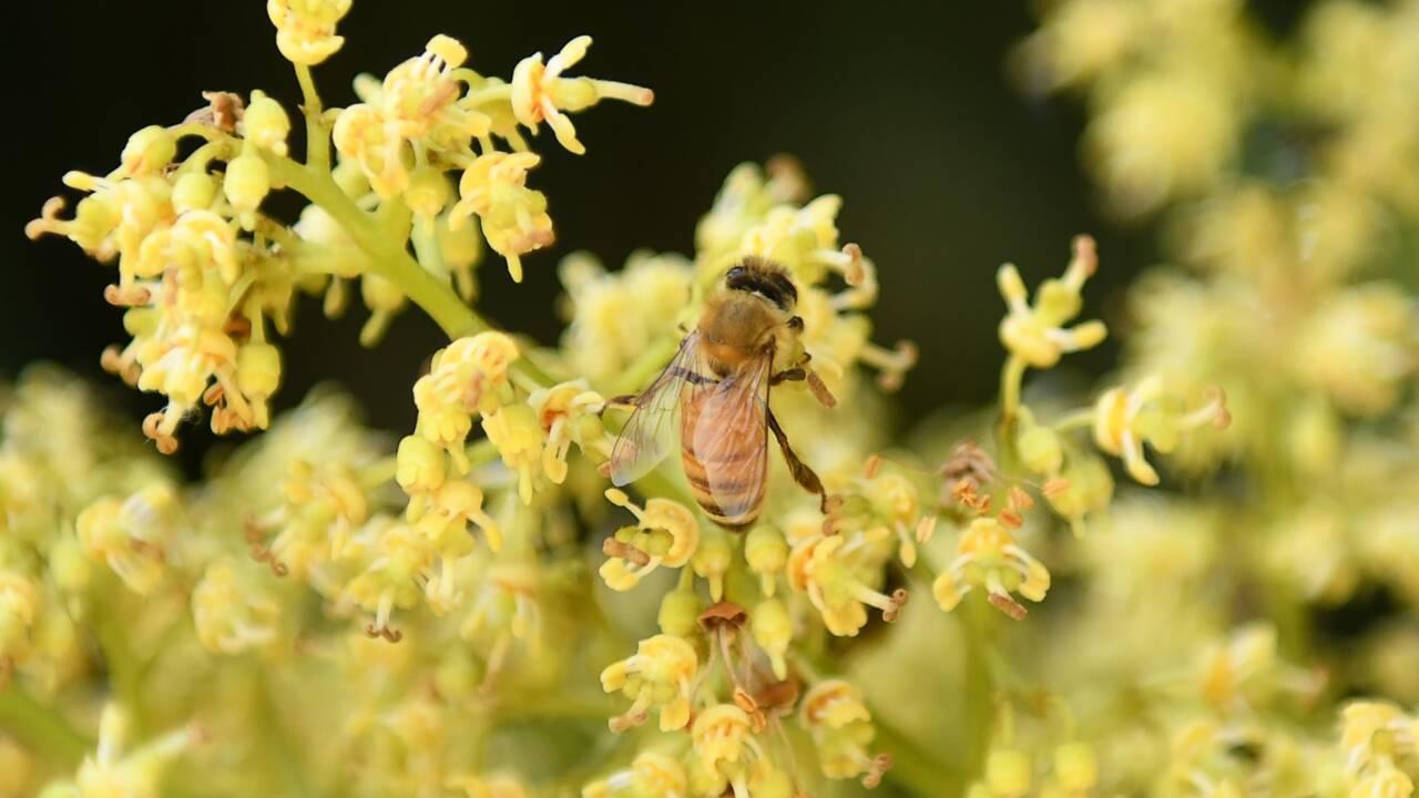 Les apiculteurs du Cachemire indien et leurs abeilles transhument vers le sud en quête de chaleur et de pollen