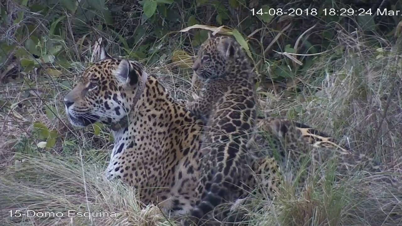 Le premier jaguar né d'un programme de reproduction réintroduit en Argentine
