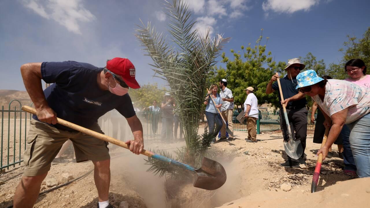 Israël : des scientifiques ressuscitent des variétés de dattiers de 2000 ans