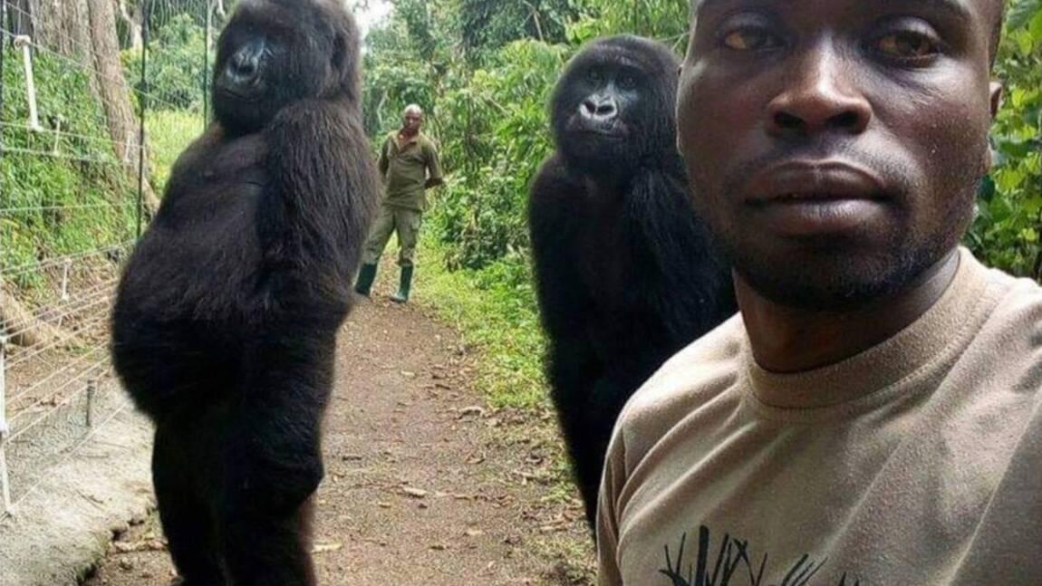 RDC : décès de Ndakasi, une gorille célèbre du parc des Virunga