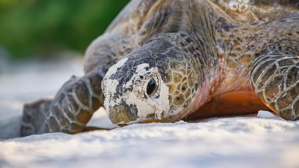 Malaisie : deux bébés tortues ont été découverts dans un seul oeuf, un fait rarissime