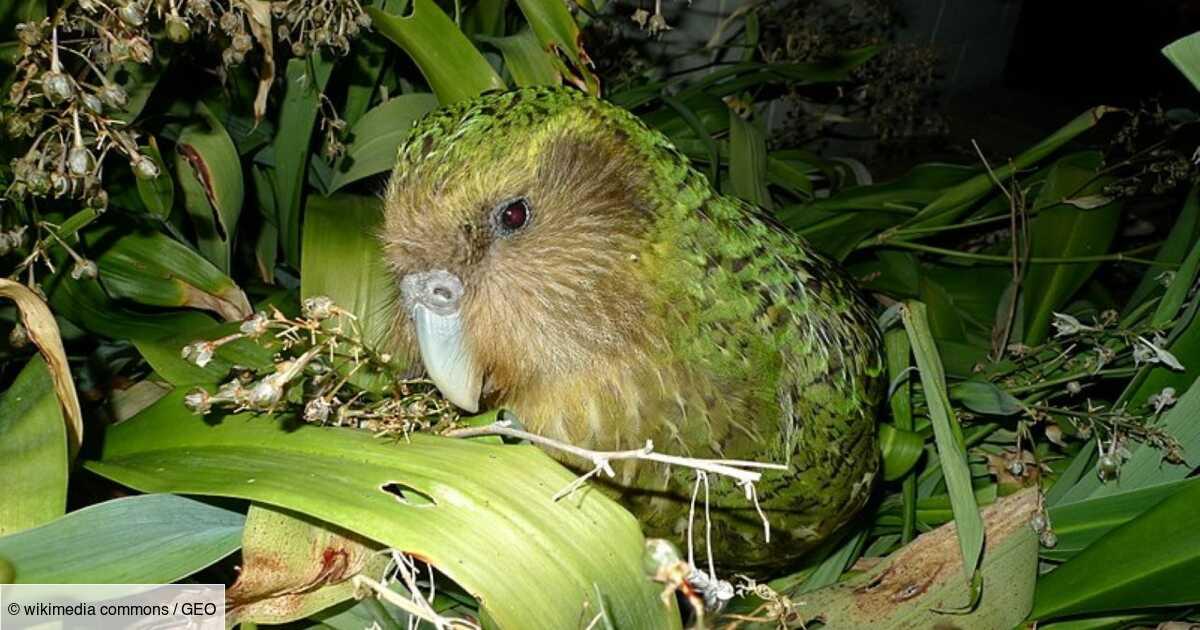Le kakapo sauvé grâce à... la consanguinité !