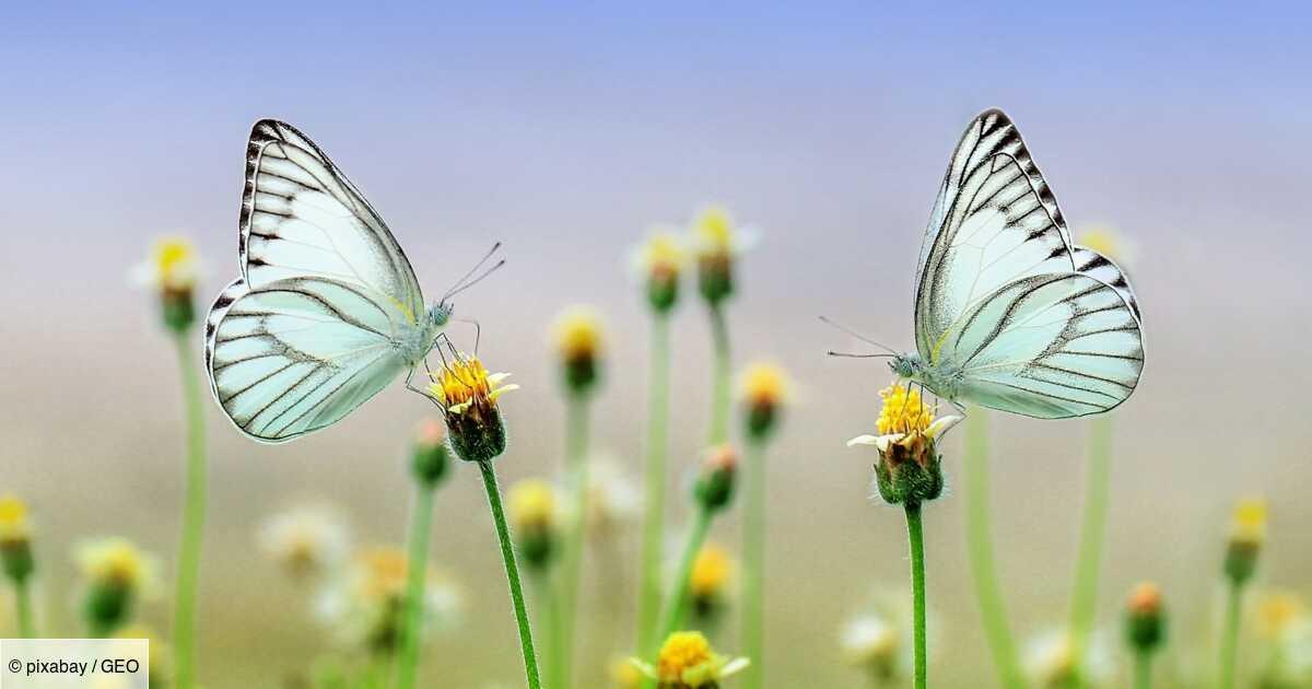 Quelle est la durée de vie d'un papillon ?