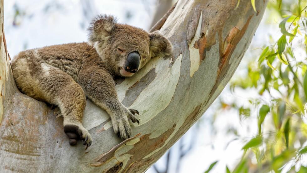 Des vétérinaires vont vacciner 400 koalas contre la chlamydia au cours d'un nouvel essai