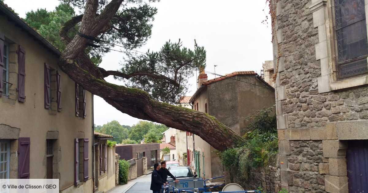 Le célèbre pin penché de Clisson sauvé grâce à une sculpture financée par le Hellfest