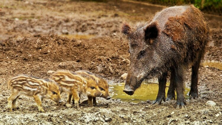 Sangliers hybrides à Fukushima