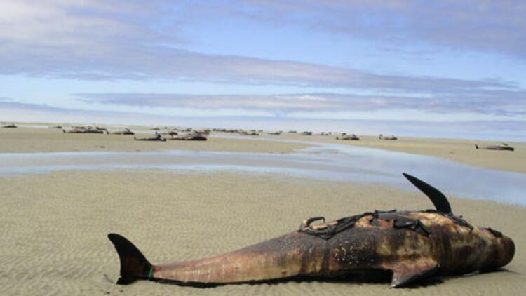 Des baleines gisent sur la plage de Farewell Spit, en Nouvelle-Zélande. © REUTERS.