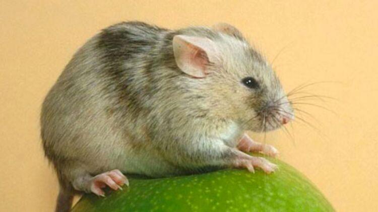 Une souris knockout, OGM animal. © Institut de recherche biomédicale Cochin.