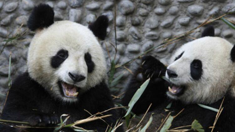 Les pandas géants Yuan Zai et Huan Huan mangeant du bambou à Chengdu (Chine) © REUTERS