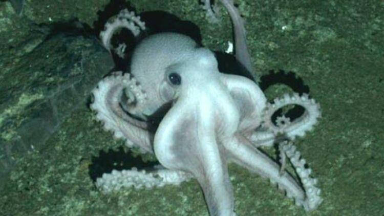 Dans les fonds marins de l'Antarctique, les scientifiques ont découvert une nouvelle espèce de pieuvre. © University of Oxford.