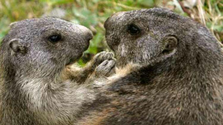 Pour ne pas nuir à la santé des marmottes, les randonneurs sont priés de ne les nourrir que de pissenlits, pas de pain ou de biscuits ! © REUTERS