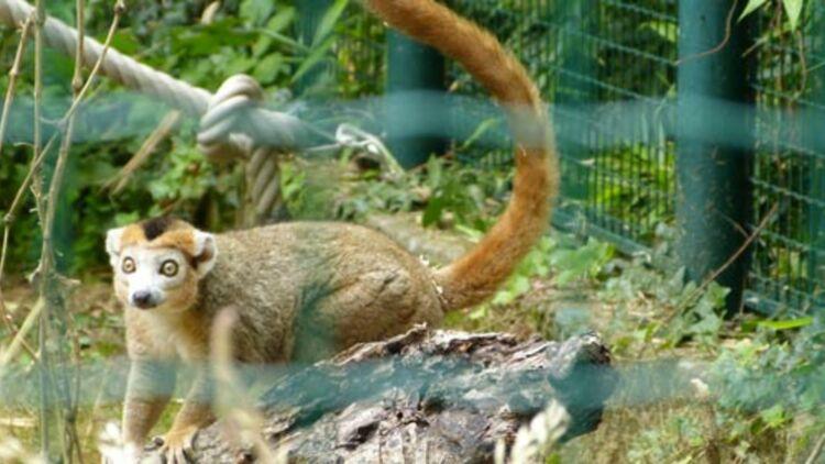 Lémur couronné, parc zoologique de Besançon. © Bénédicte Lutaud
