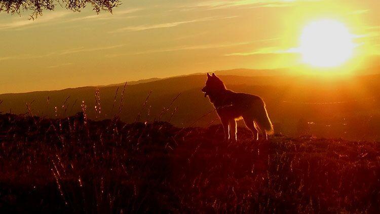 animaux domestiques, chien, nature, coucher de Soleil