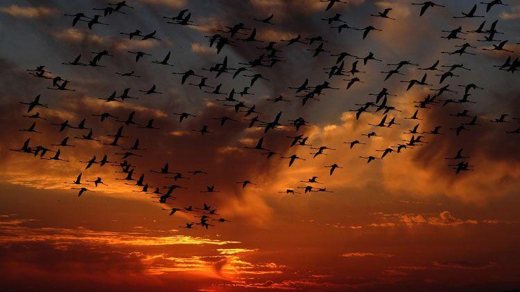 oies, oiseau, voler