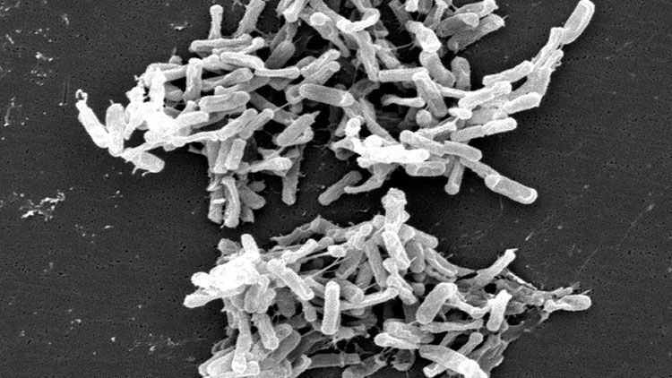 Clostridium difficile, greffe fécale