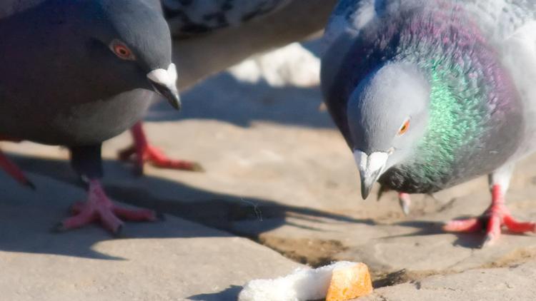 Pigeon, animaux, nourriture