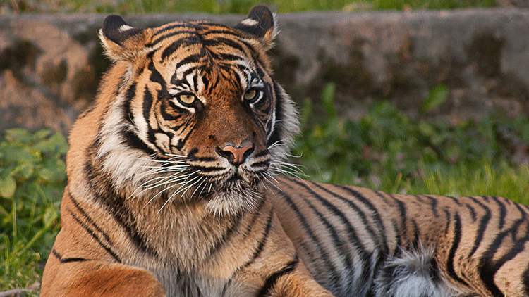 tigre, animaux sauvages