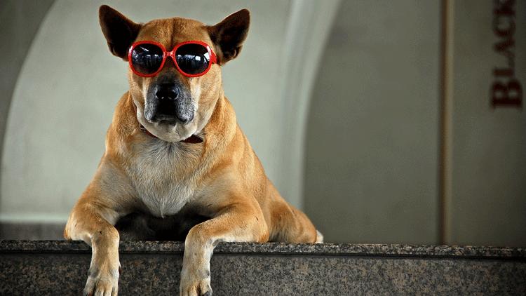 Lunettes de soleil, chien