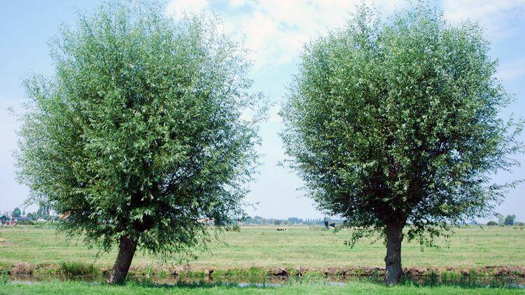 arbres, sexe des arbres