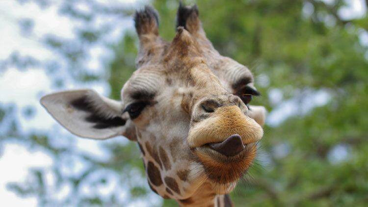 long cou, girafe