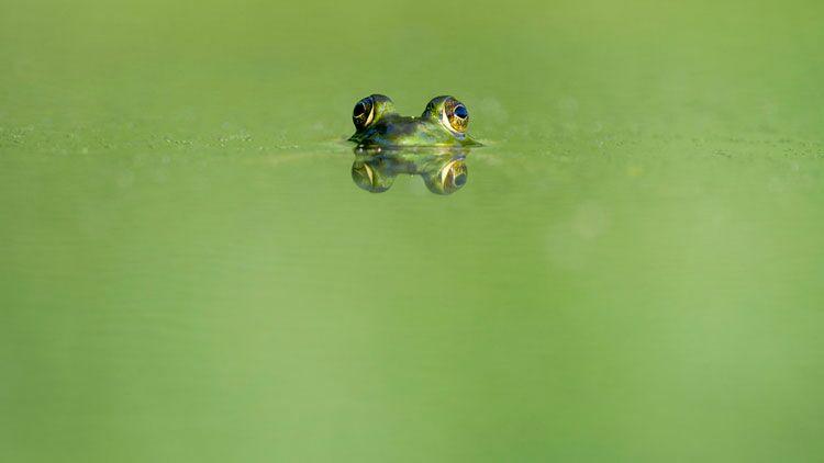 grenouille, natation