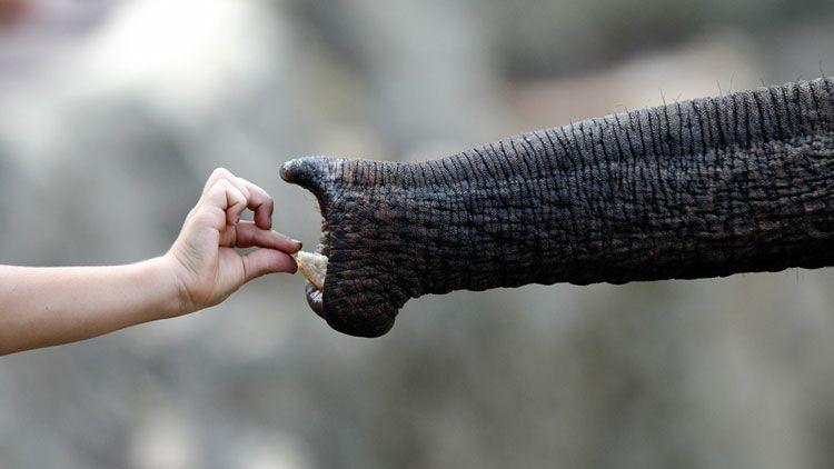 éléphant, parcs animaliers, main, parc animalier, protection des animaux