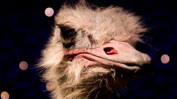 insultes, noms d'oiseaux, autruche