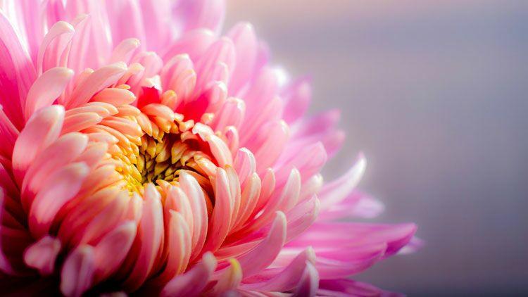 chrysanthème, fleur