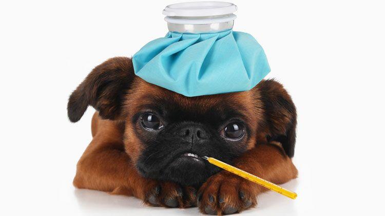 chien, fievre, thermometre, bouillotte