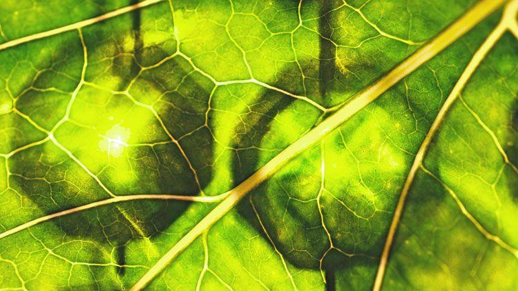 chlorophylle, feuille, verdure