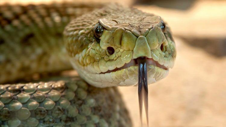 serpent, venin
