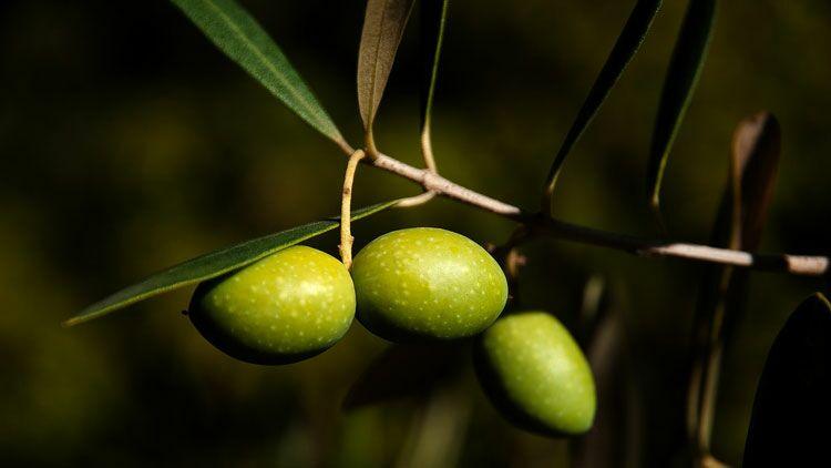 olive, régime méditerranéen