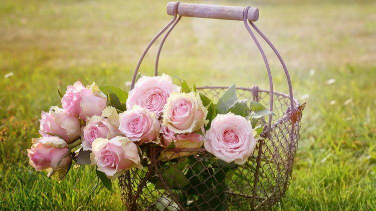 roses, saint-Valentin, Pays-Bas