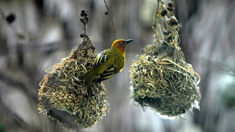 oiseaux, nid
