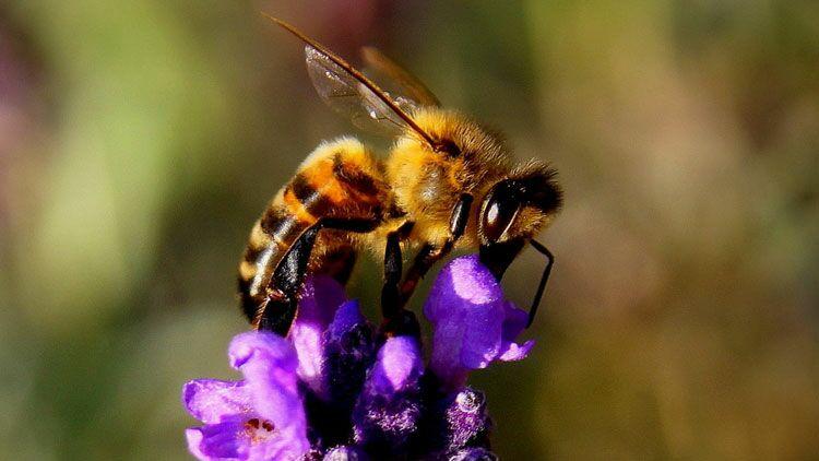 abeille, pollinisateurs