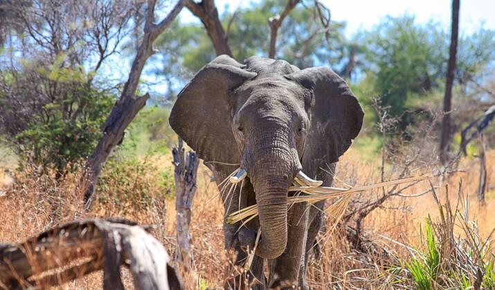 Hippopotames et bétail piégés par la sécheresse au Botswana