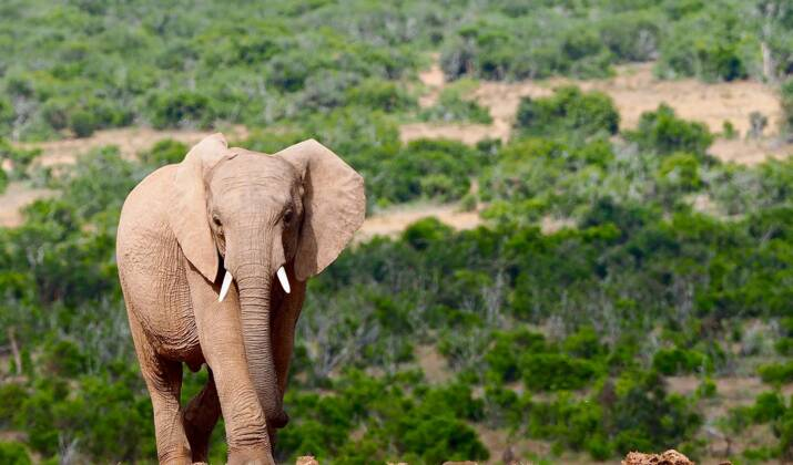 Afrique du Sud : un braconnier présumé écrasé par un éléphant puis dévoré par des lions