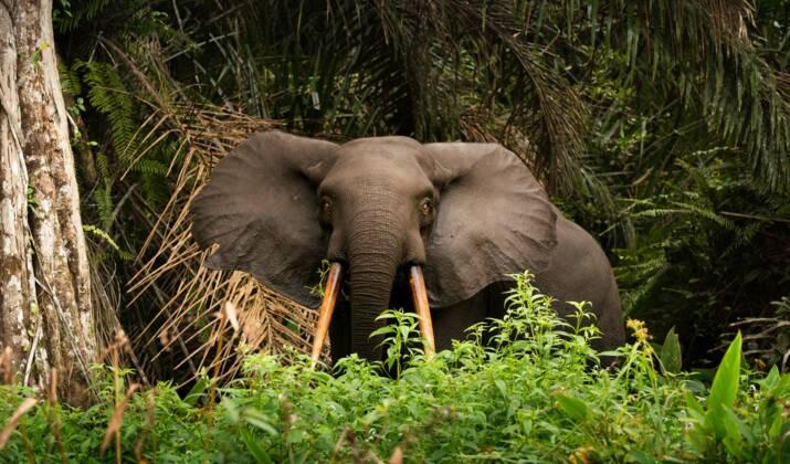 Gabon: il vole des défenses d'éléphant à son père pour les revendre, les deux se retrouvent en prison