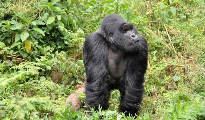 Emoi en RDC à la suite d'un reportage sur les gorilles du Rwanda