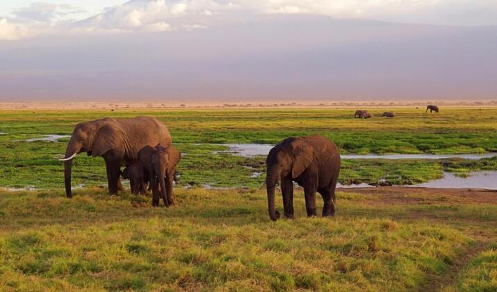 Kenya : la dernière girafe blanche désormais équipée d'un GPS pour dissuader les braconniers