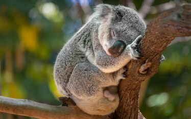koala animal australie nature
