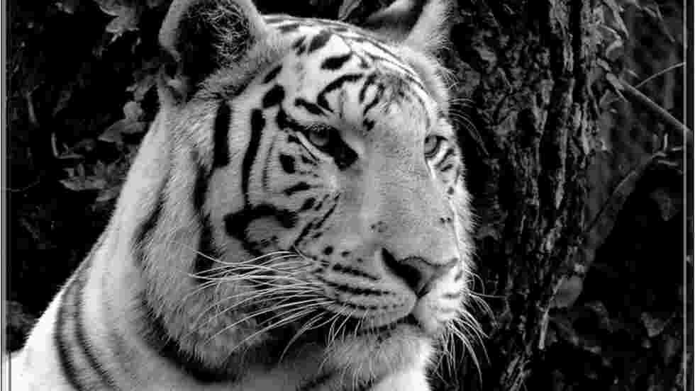 Tigre Fond D Ecran Et Image Gratuits Geo Fr