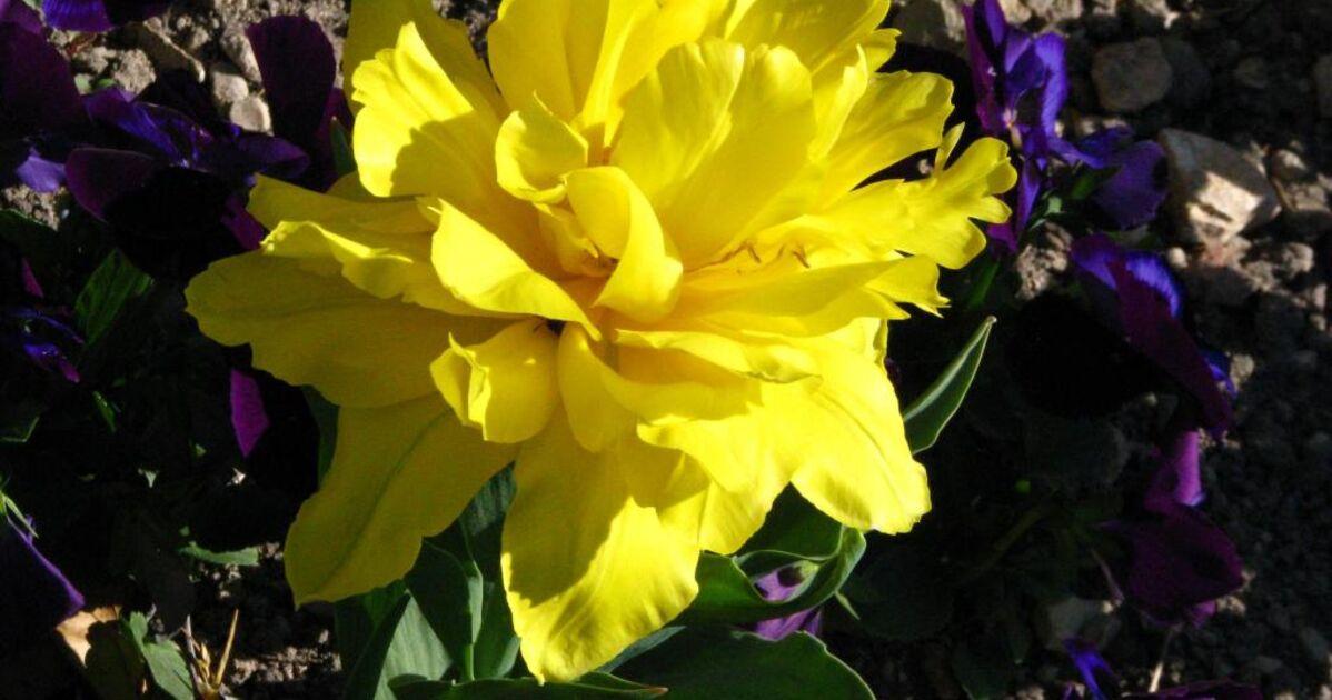 Tulipe jaune, - Geo.fr