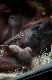 e2e401d0475f6 Naissance d'un bébé orang-outan au Jardin des Plantes à Paris - Geo.fr